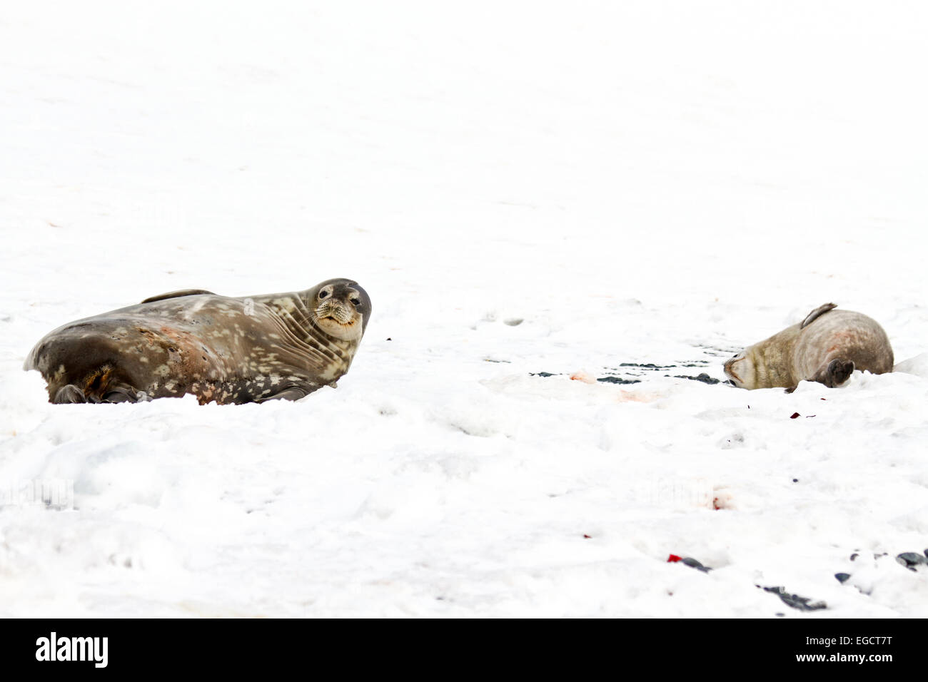 Weddell seals (Leptonychotes weddellii). Young pup lying on sea ice. Weddell seals are born singly. They have fine - Stock Image