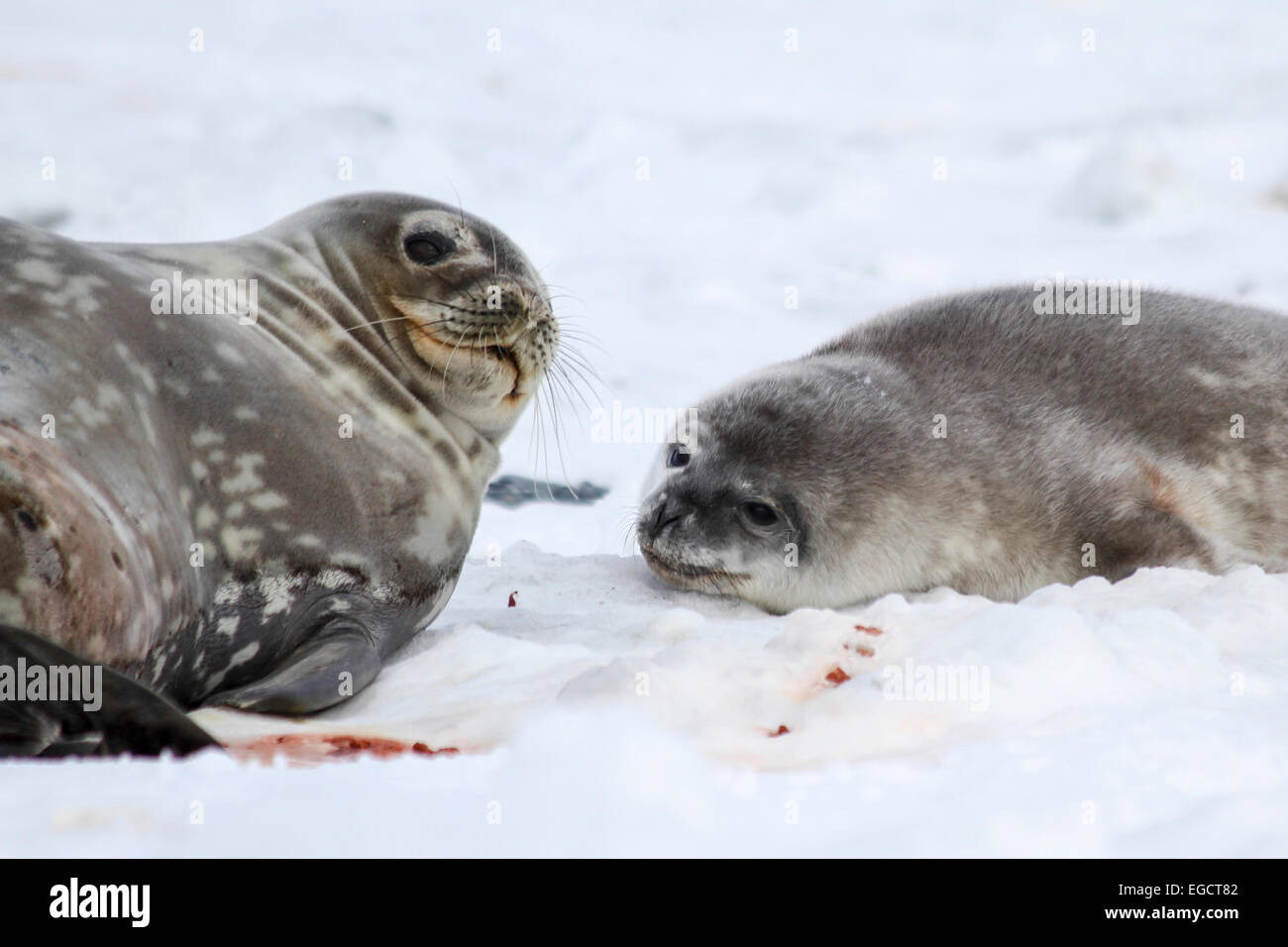 Weddell seals (Leptonychotes weddellii). Mother and pup lying on sea ice. Weddell seals are born singly. They have - Stock Image
