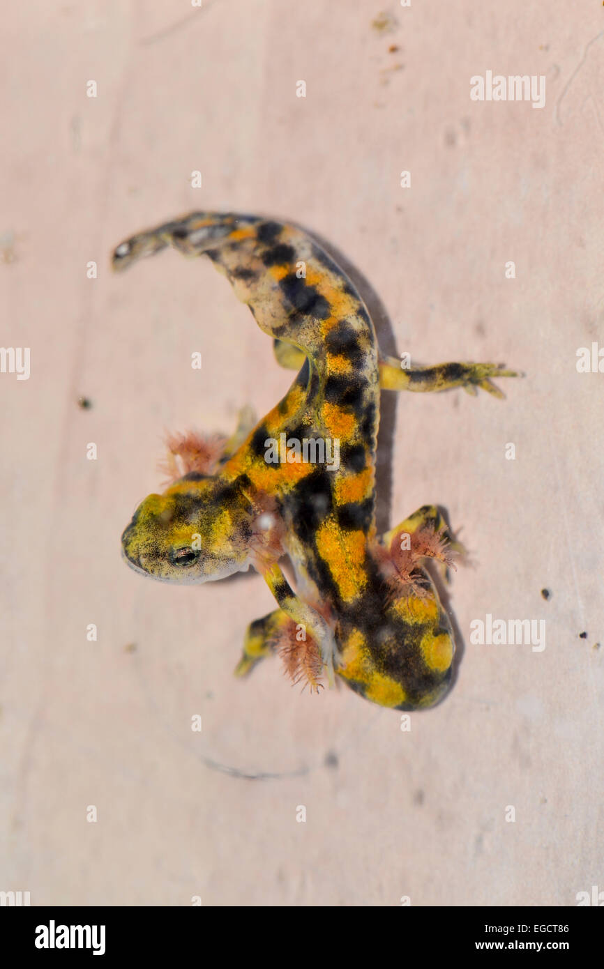 Two month old, Two-headed Near Eastern fire salamander (Salamandra infraimmaculata) tadpole that was born in a community - Stock Image