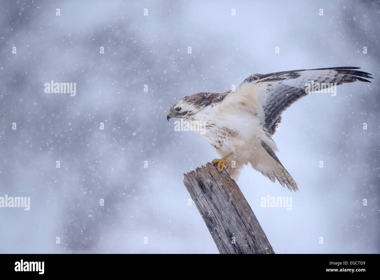Buzzard (Buteo buteo), white morph, flapping its wings in a snowstorm, Biosphere Reserve Swabian Alb, Baden-Württemberg - Stock Image