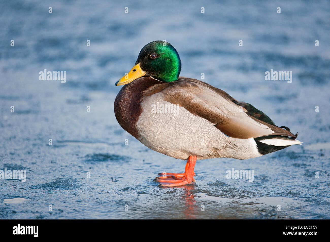 Mallard (Anas platyrhynchos), drake, standing on a frozen pond, Thuringia, Germany - Stock Image