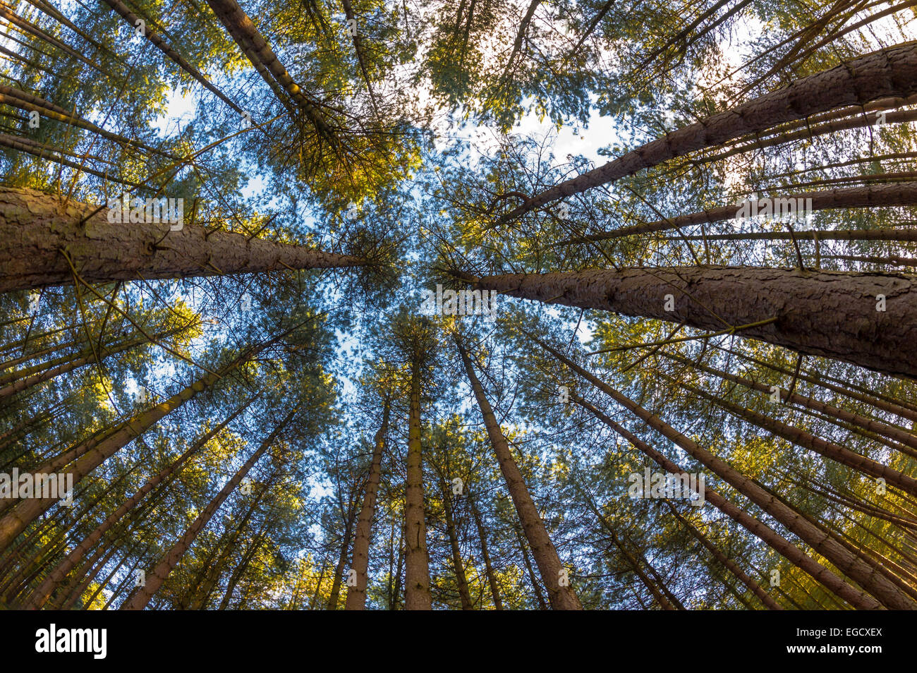 Tall conifers or pine trees in Sherwood forest, Nottinghamshire, England. - Stock Image