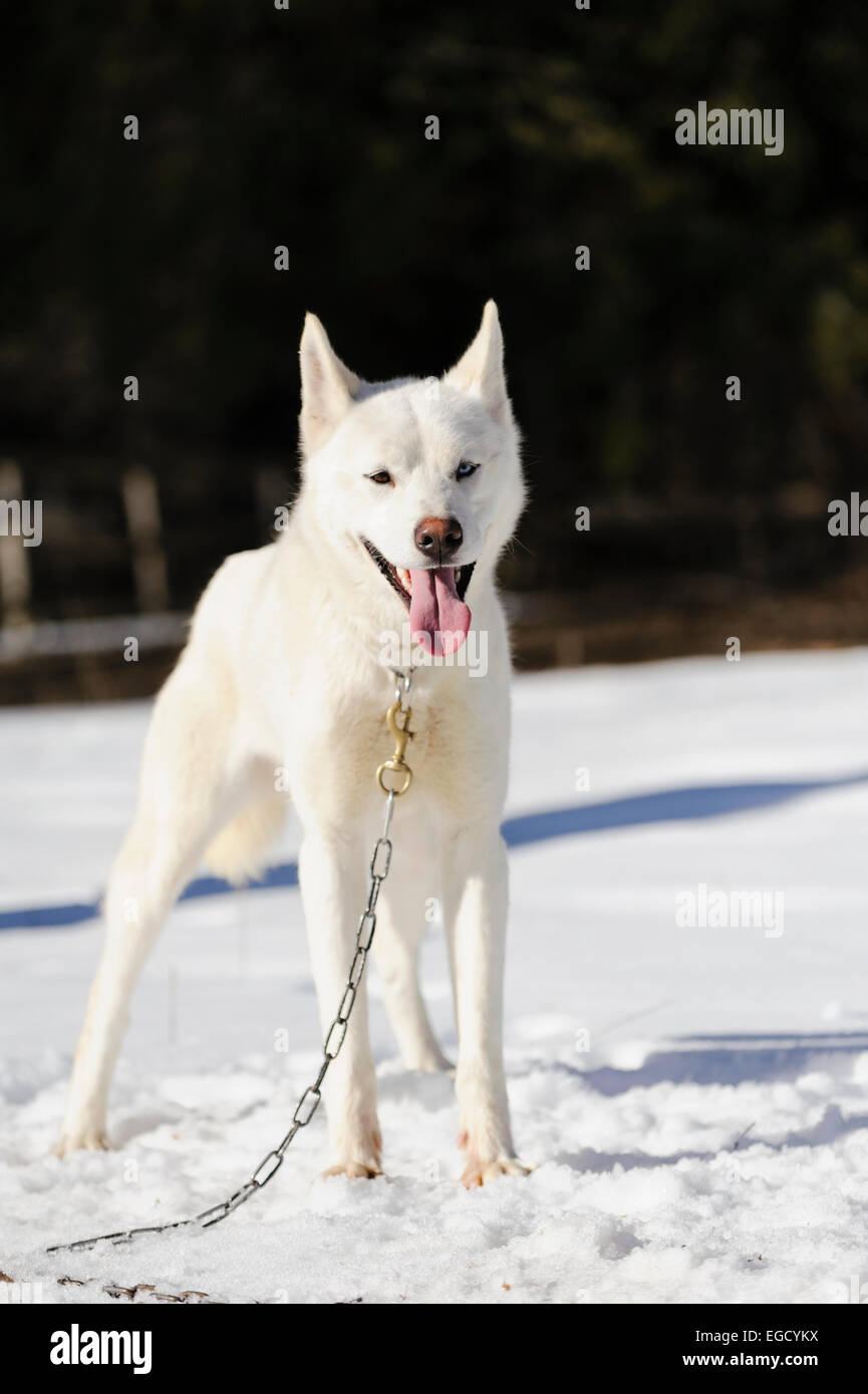 White siberian husky in steakout before sleddog racing in Romania - Stock Image