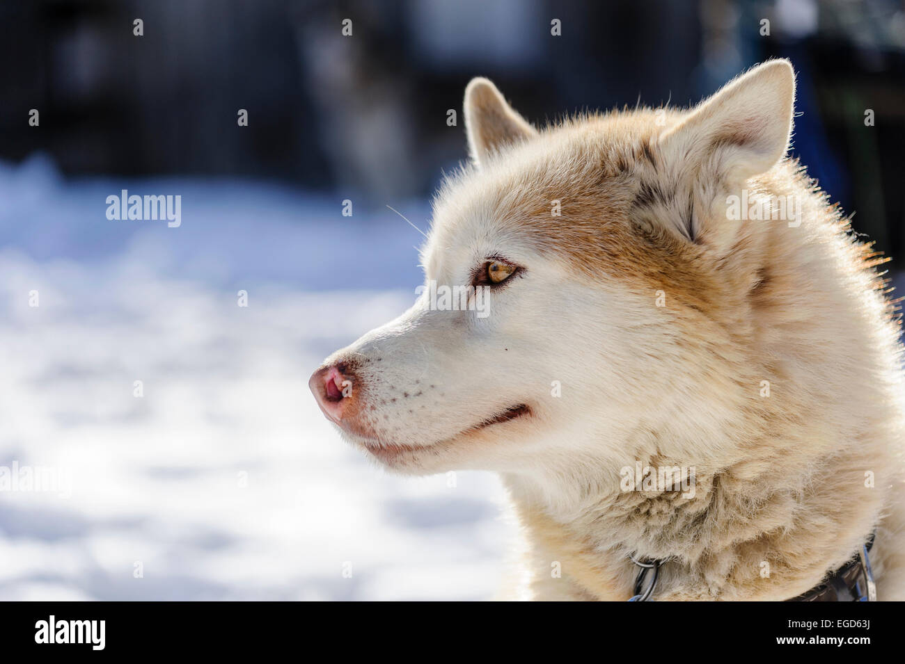 Red White Siberian Husky Dog Portrait At A Sleddog Competition Stock