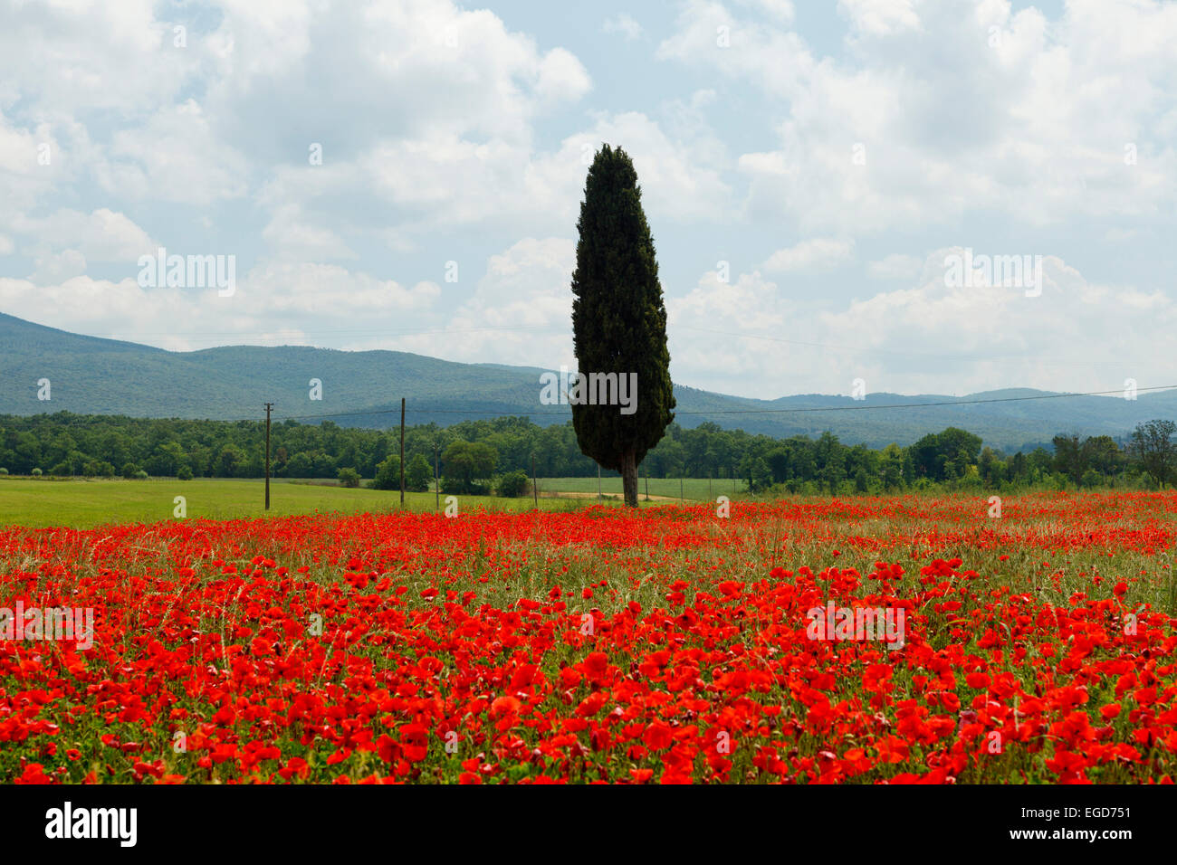 Cypress in a red poppy field near Colle di Val d Elsa, Tuscany, Italy, Europe - Stock Image