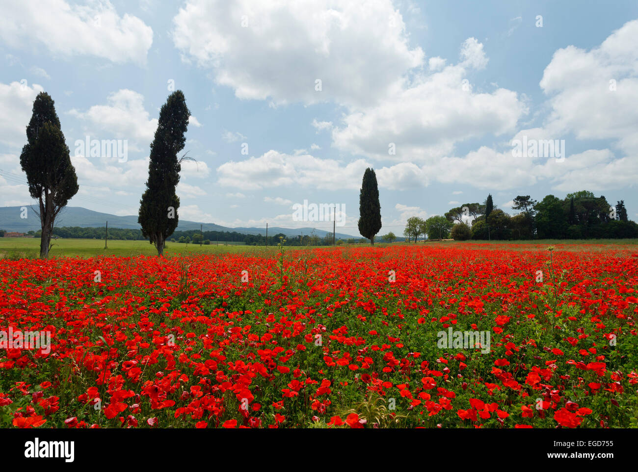 Cypresses in a red poppy field, near Colle di Val d Elsa, Tuscany, Italy, Europe - Stock Image