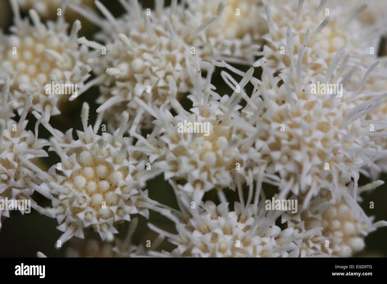 Starburst white flower macro - Stock Image
