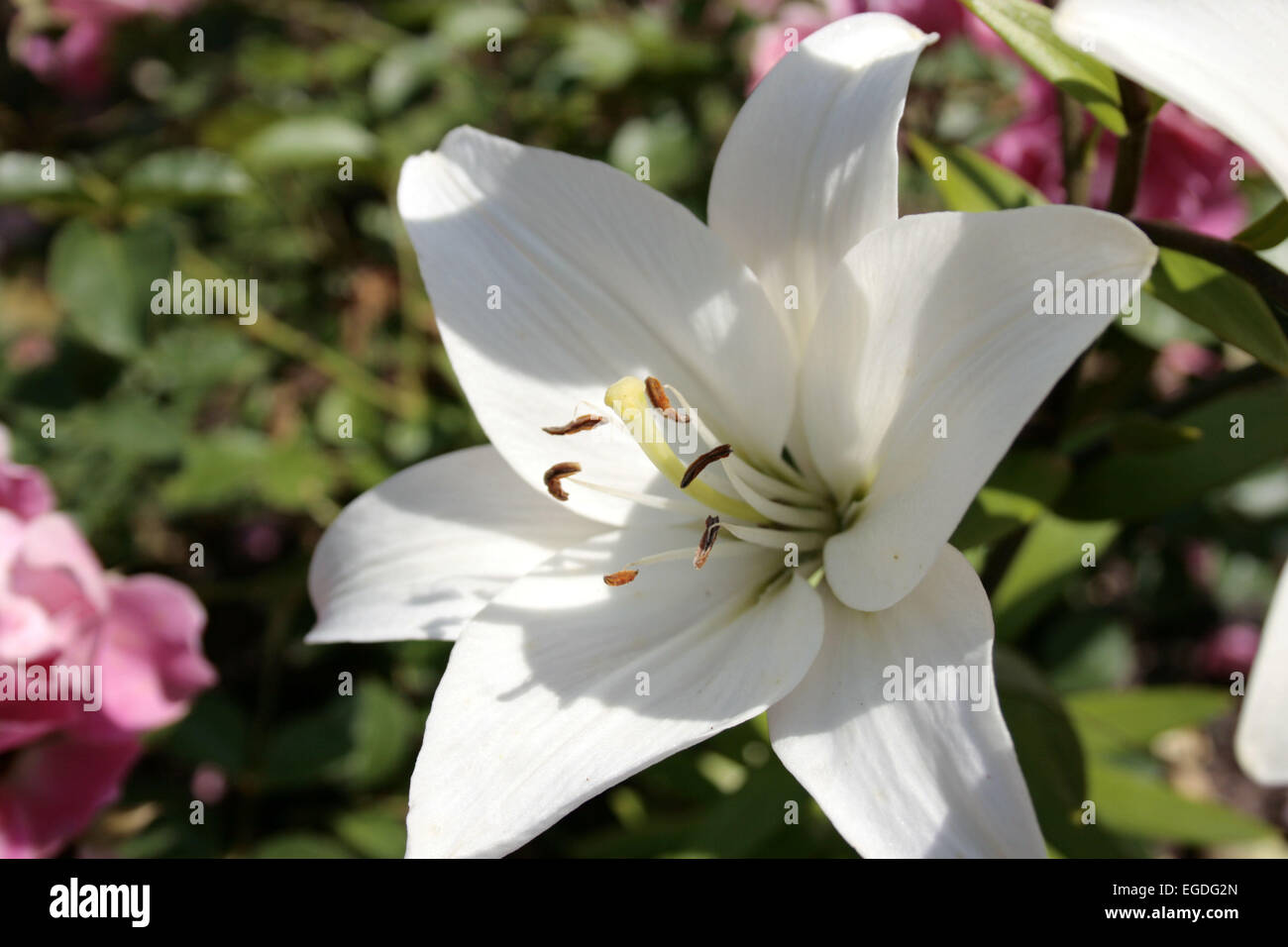 lily blossom in the summertime - Stock Image