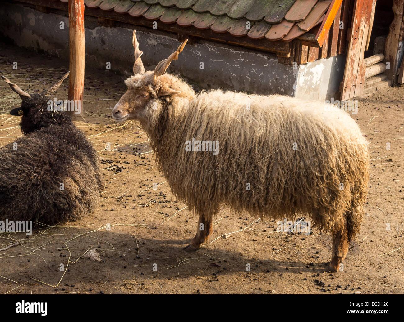 Racka Sheep Hungary - Stock Image