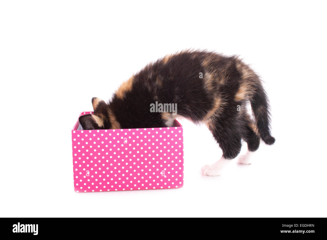 kitten search in a box isolated on white - Stock Image