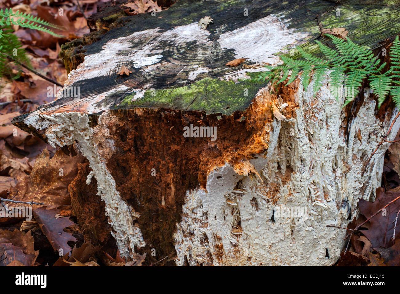 Fungi Antrodia xantha covering tree stump and causing white rot - Stock Image