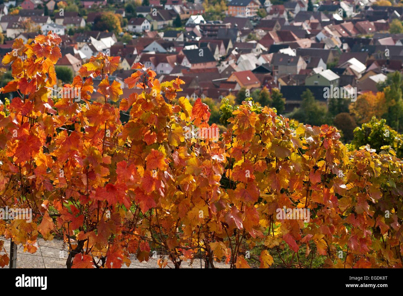Vineyards along the Wine educational trail, Markelsheim, Franconia, Bavaria, Germany - Stock Image