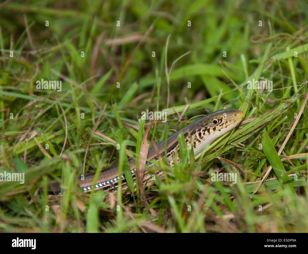 Lined snake in grass - Stock Image