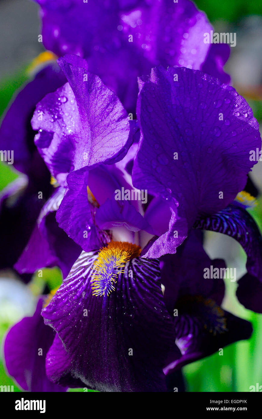 Violett coloured iris blossom with water drops, Germany - Stock Image
