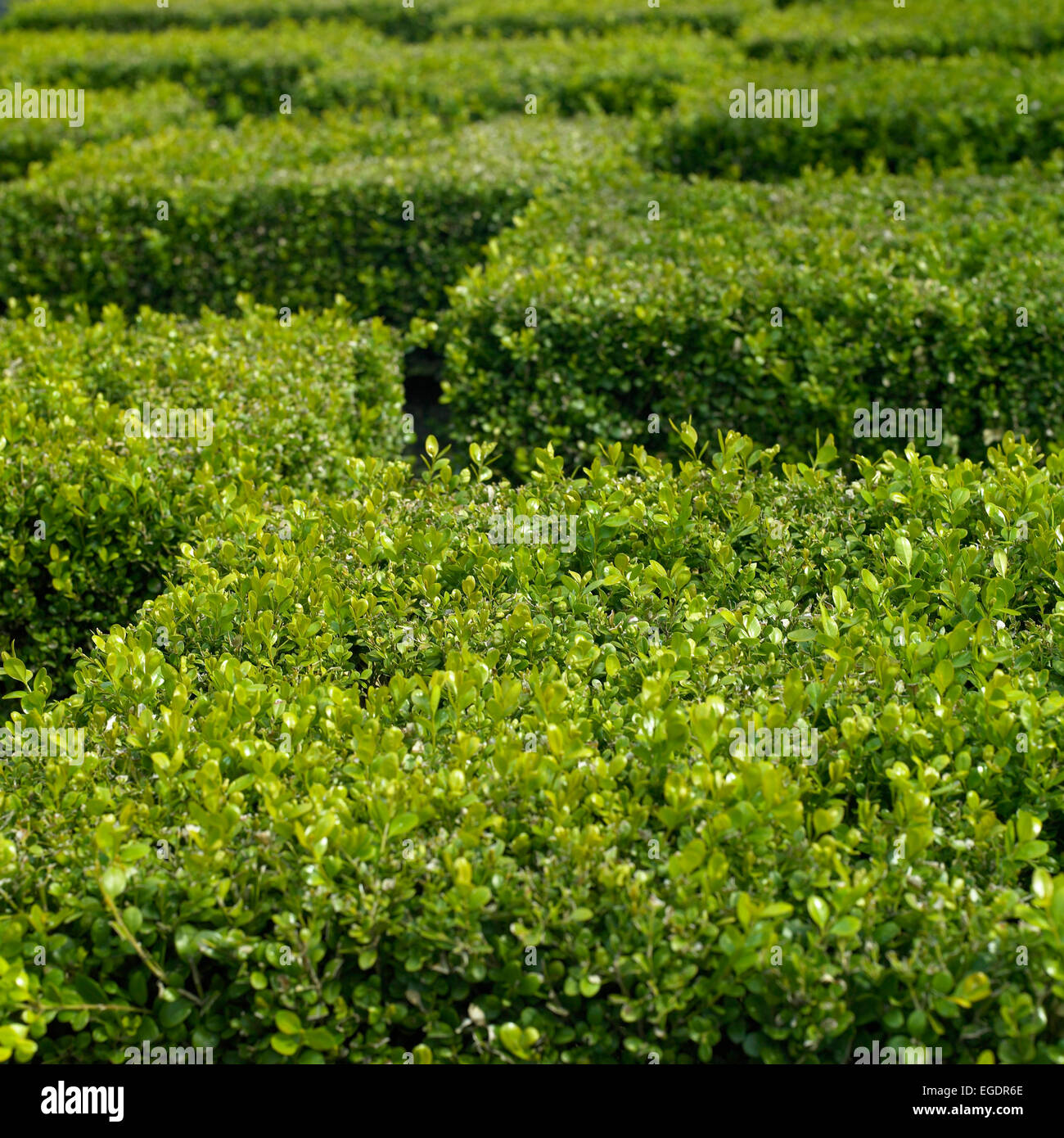 Green ttaggered trimmed hedge top cubes - Stock Image