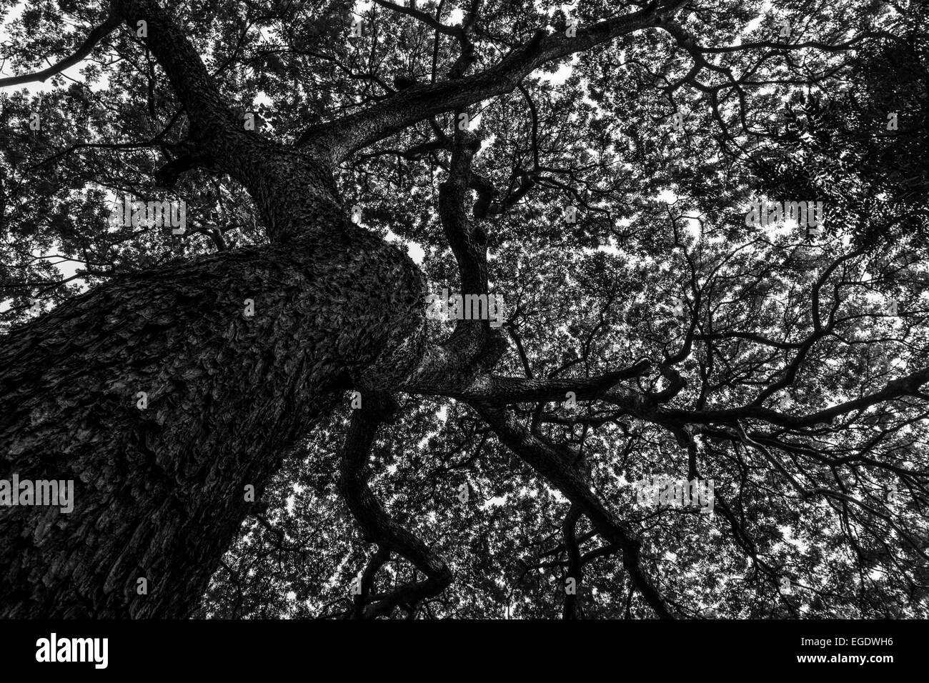 a large tree taken from below - Stock Image