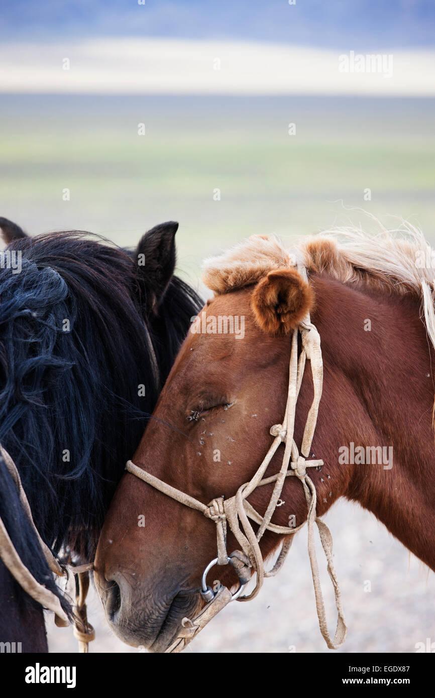 Mongolian horses, Omnogov, The Gobi, Mongolia - Stock Image