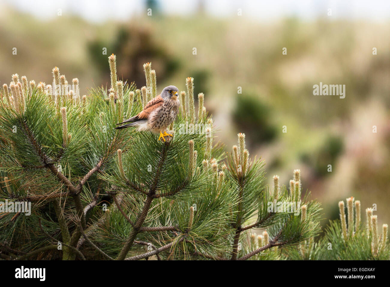 Kestrel in a pine tree, Falco tinnunculus, male, Spiekeroog Island, Nationalpark, North Sea, East Frisian Islands, - Stock Image