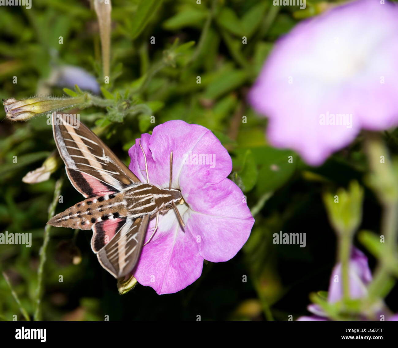 White lined sphinx moth stock photos white lined sphinx moth stock white lined sphinx moth feeding on a petunia flower stock image mightylinksfo