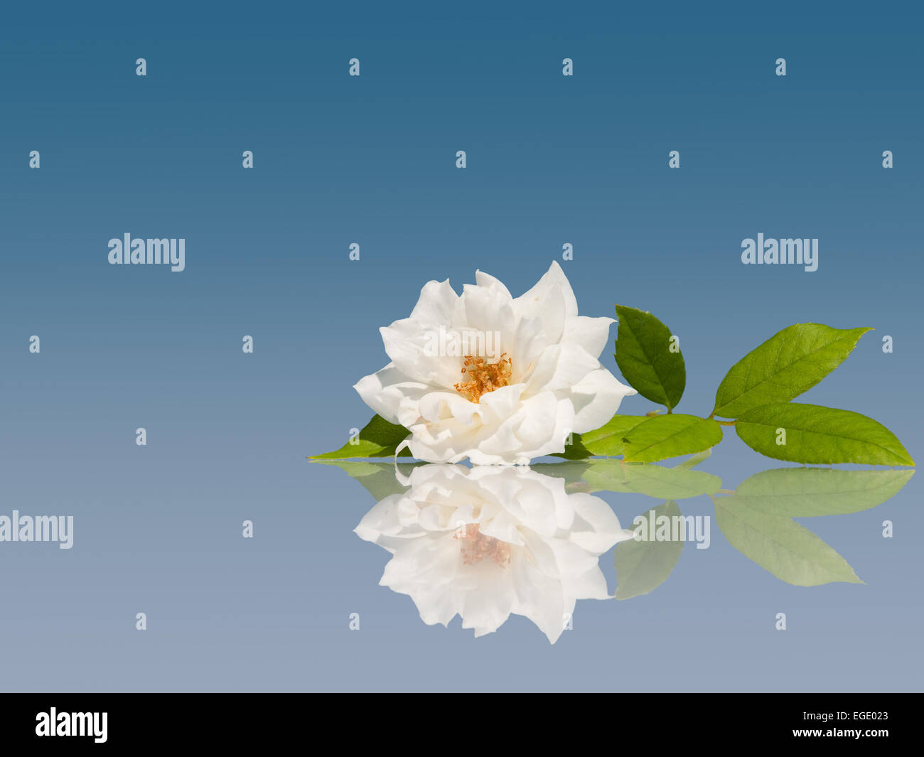 Delicate white rose on light blue background with reflection Stock Photo