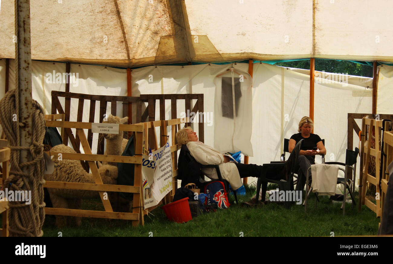 Alpaca breeders resting the Northumberland County Show - Stock Image