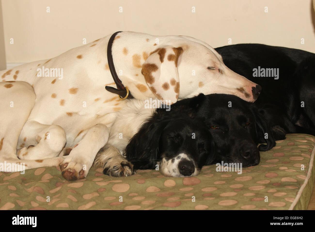 3 dogs sleeping. - Stock Image