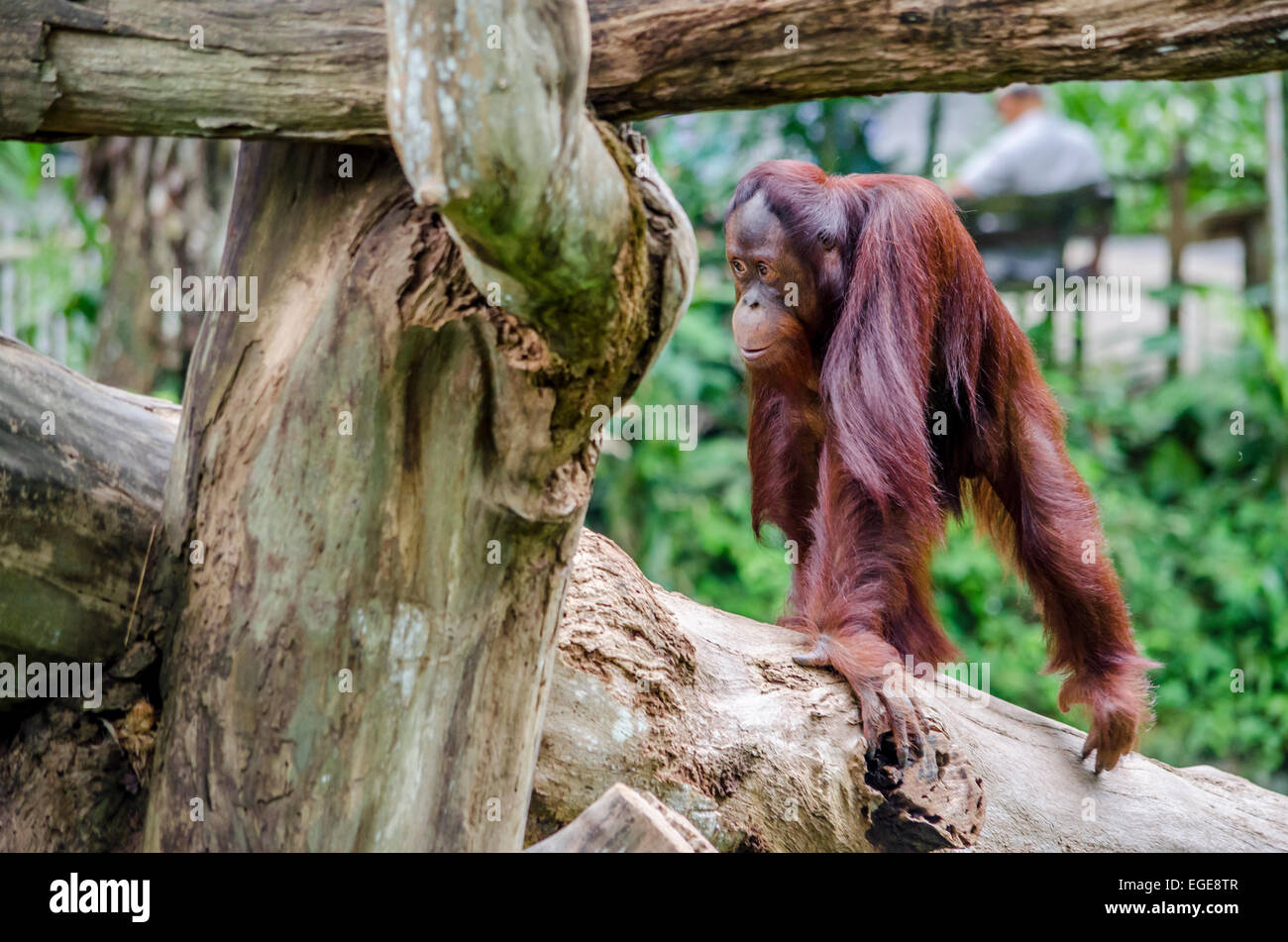 Young orangutan in a zoo walking on a trunk Stock Photo