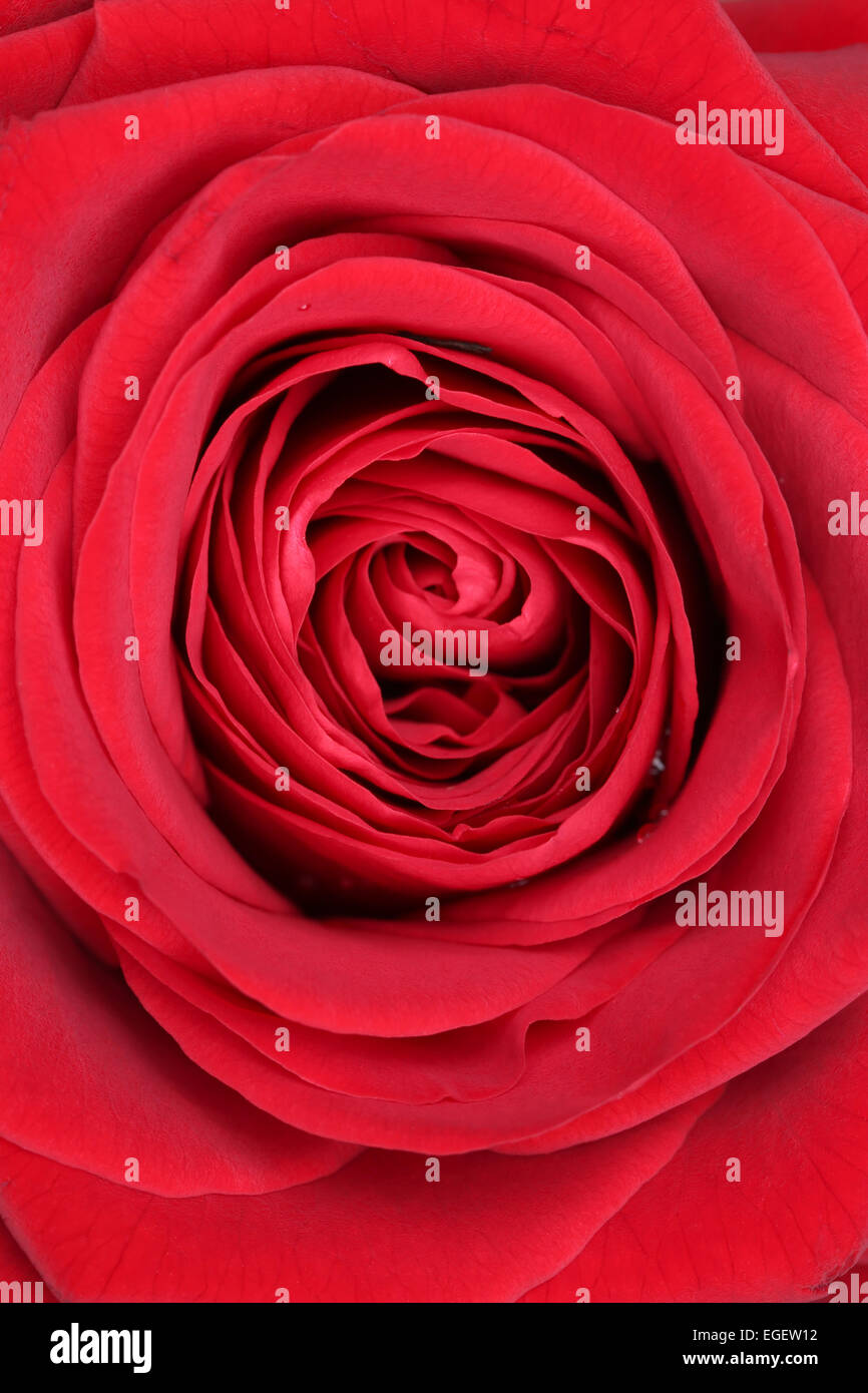 Closeup blossom red rose on birthday, mothers day or Valentine's day - Stock Image