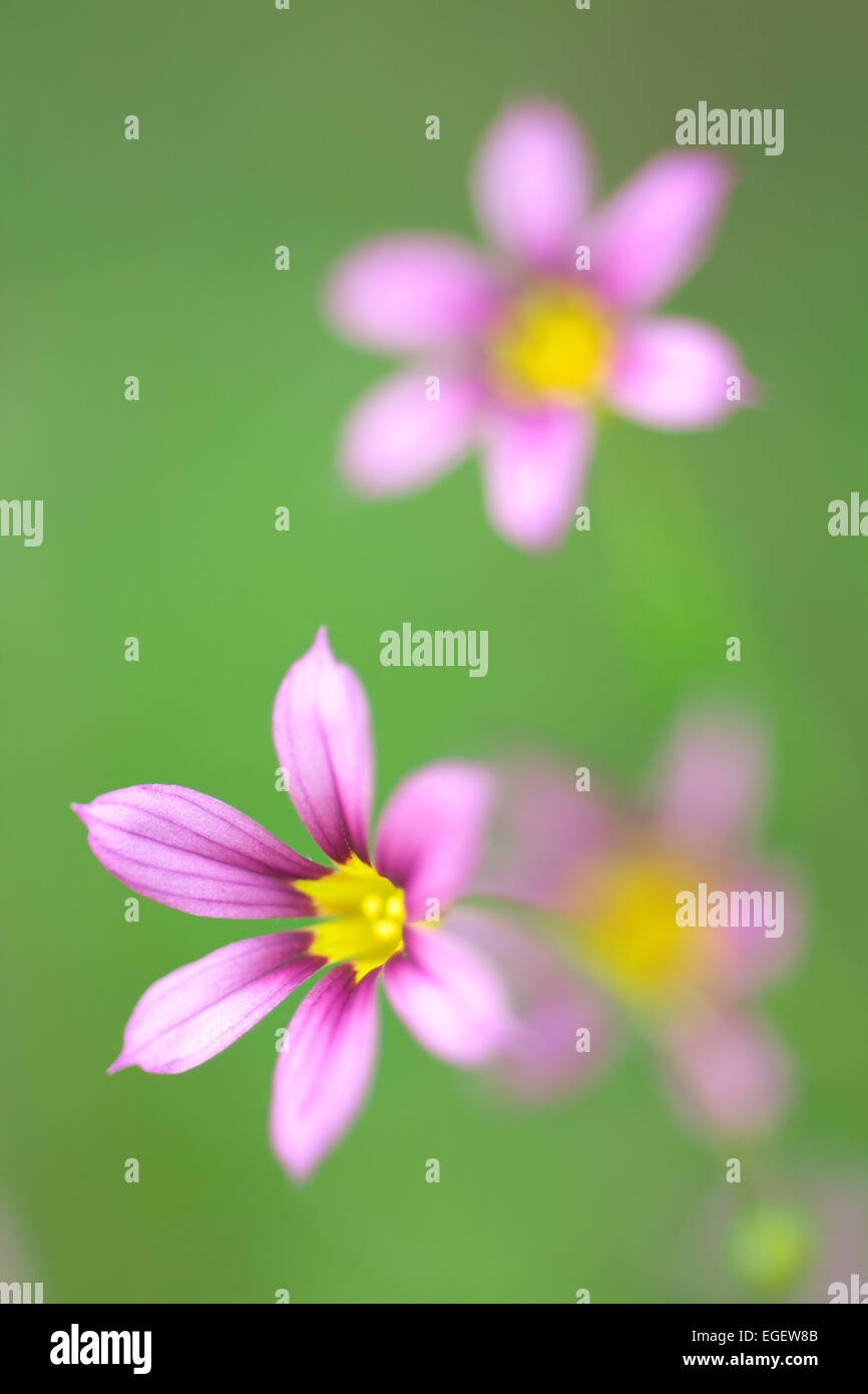 Annual Blue Eyed Grass - Stock Image