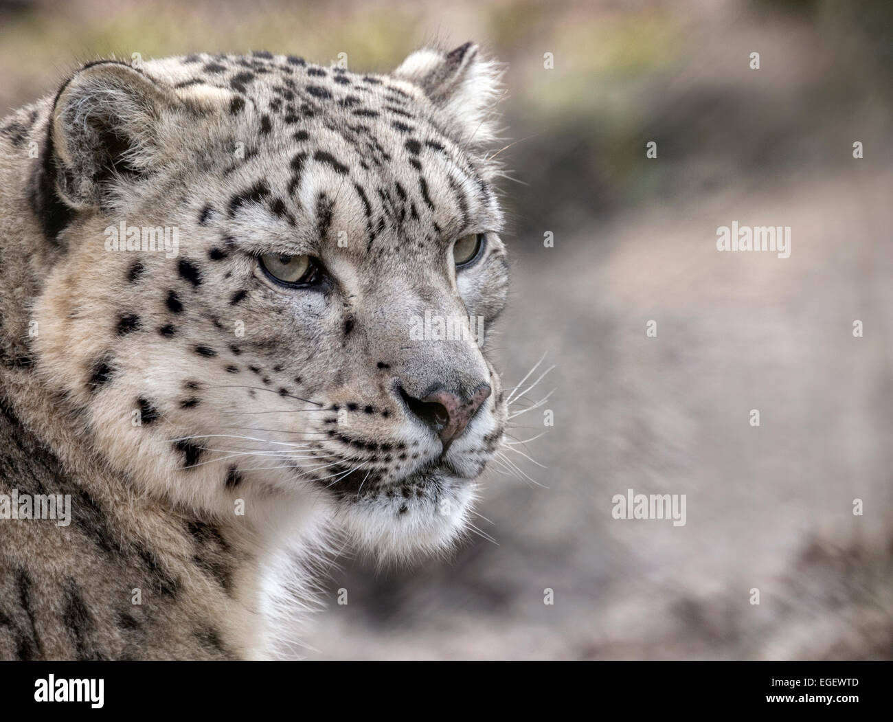 Female snow leopard (head shot) - Stock Image