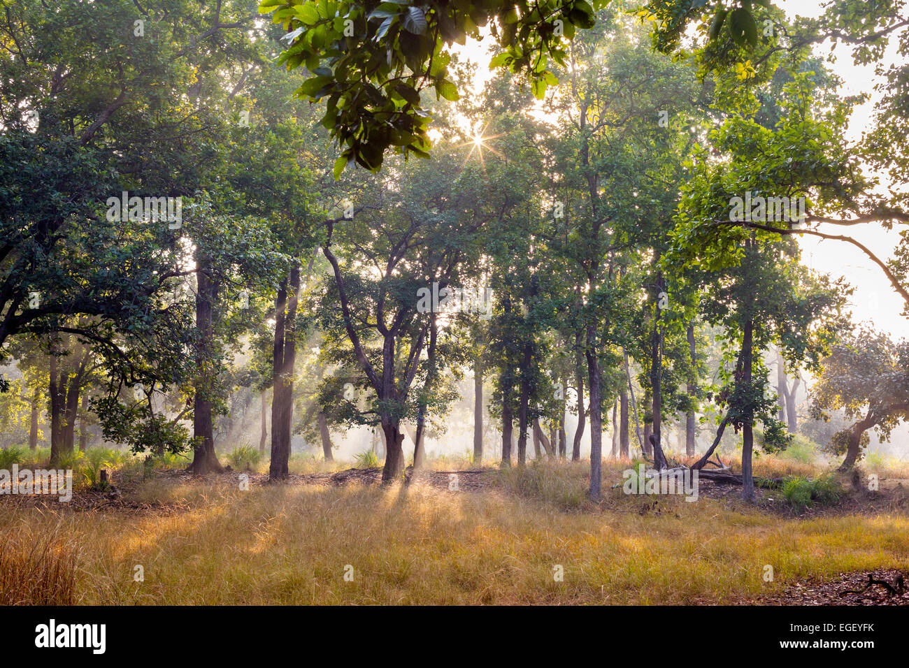 Mist and trees at dawn in Bandhavgarh National Park, India - Stock Image