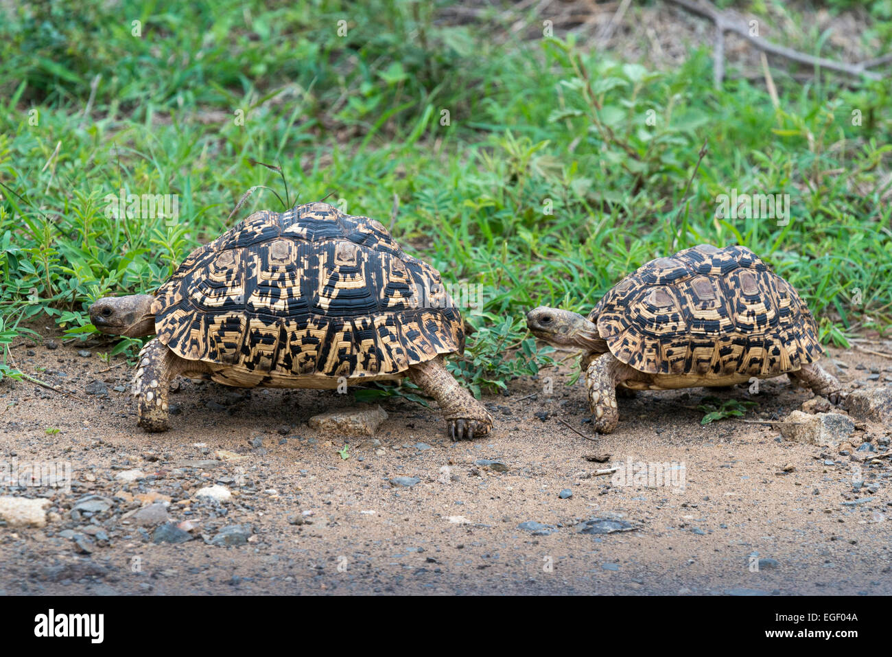 Mating behaviour two Leopard tortoises (Geochelone pardalis), Kruger National Park, South Africa, Africa - Stock Image