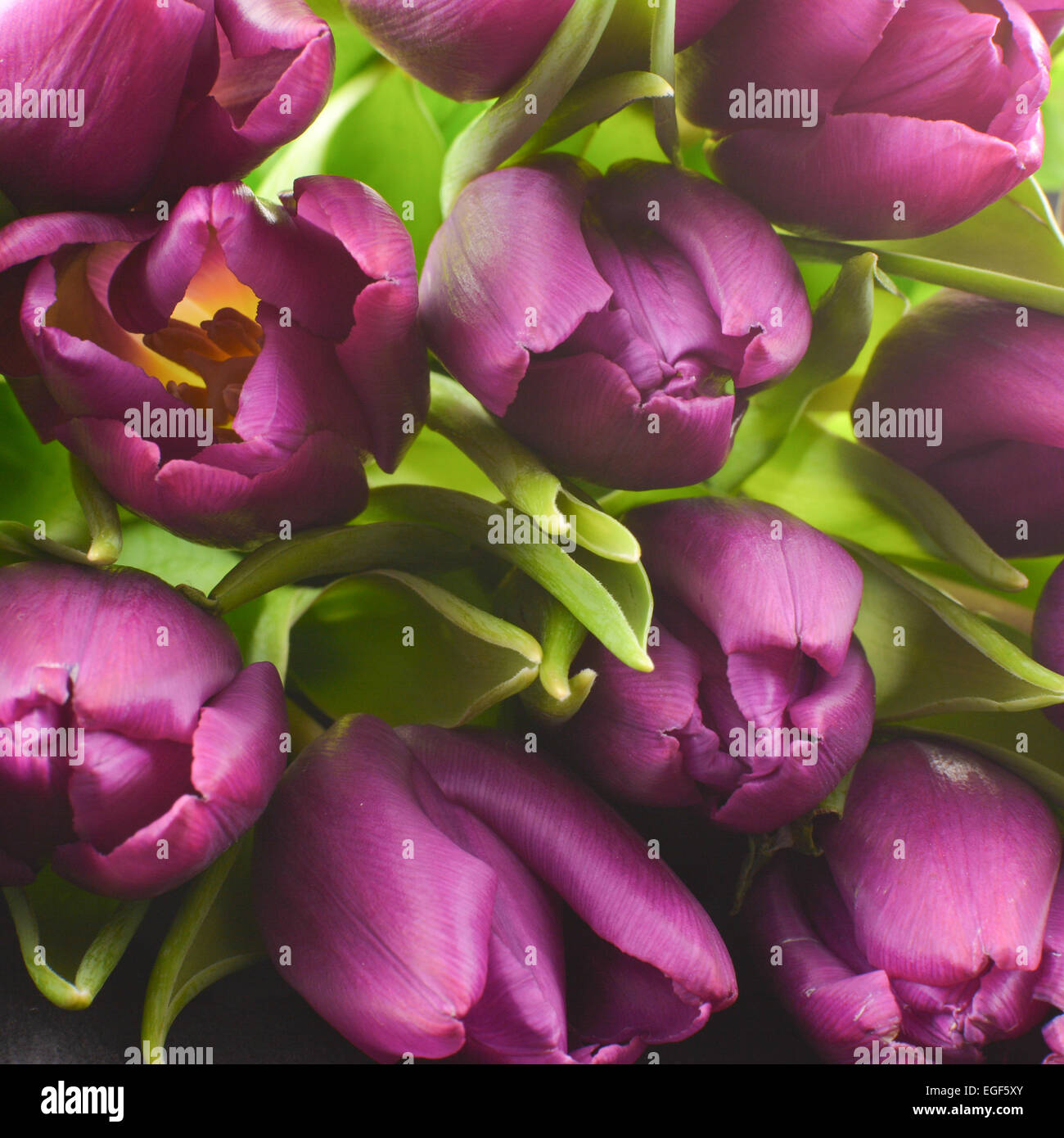 front view of jewel toned opening tulip spring bouquet - Stock Image