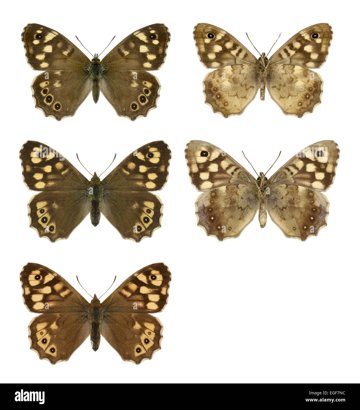 Speckled Wood - Pararge aegeria - male (top row) - female (middle row) - ssp. insula from Scilly (bottom row). - Stock Image