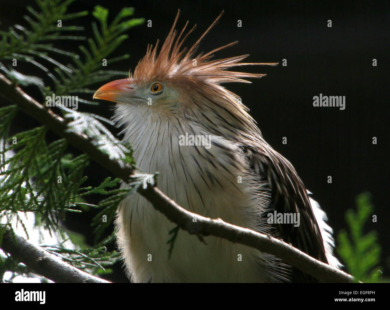 South American Guira cuckoo (Guira guira) - Stock Image