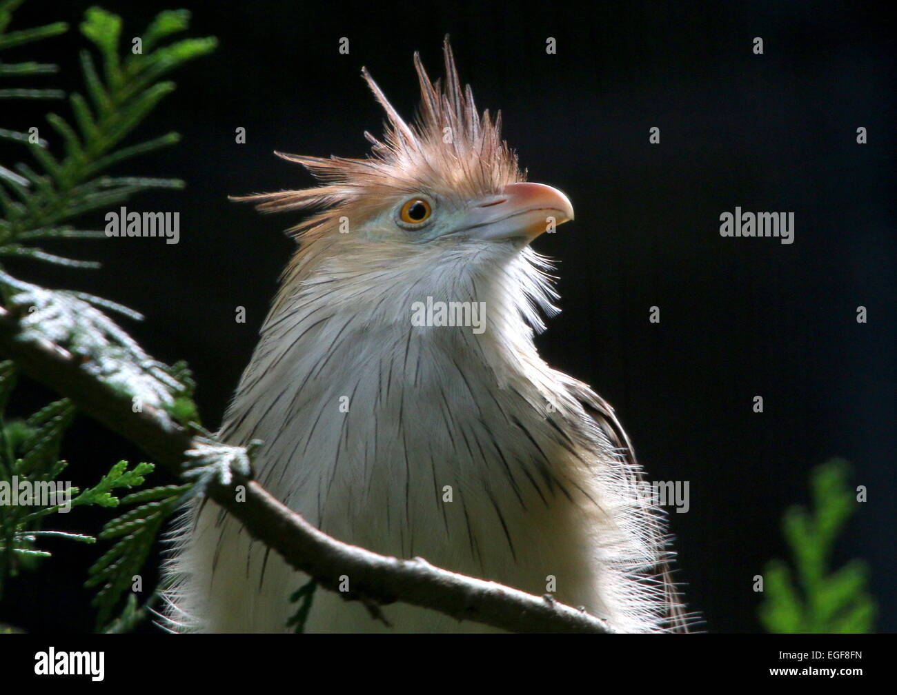 South American Guira cuckoo (Guira guira), close-up of the head - Stock Image