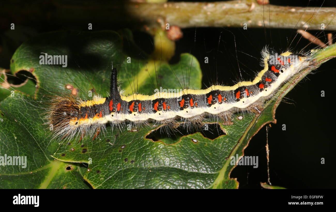 Colourful caterpillar of the European Grey Dagger moth (Acronicta psi) Stock Photo