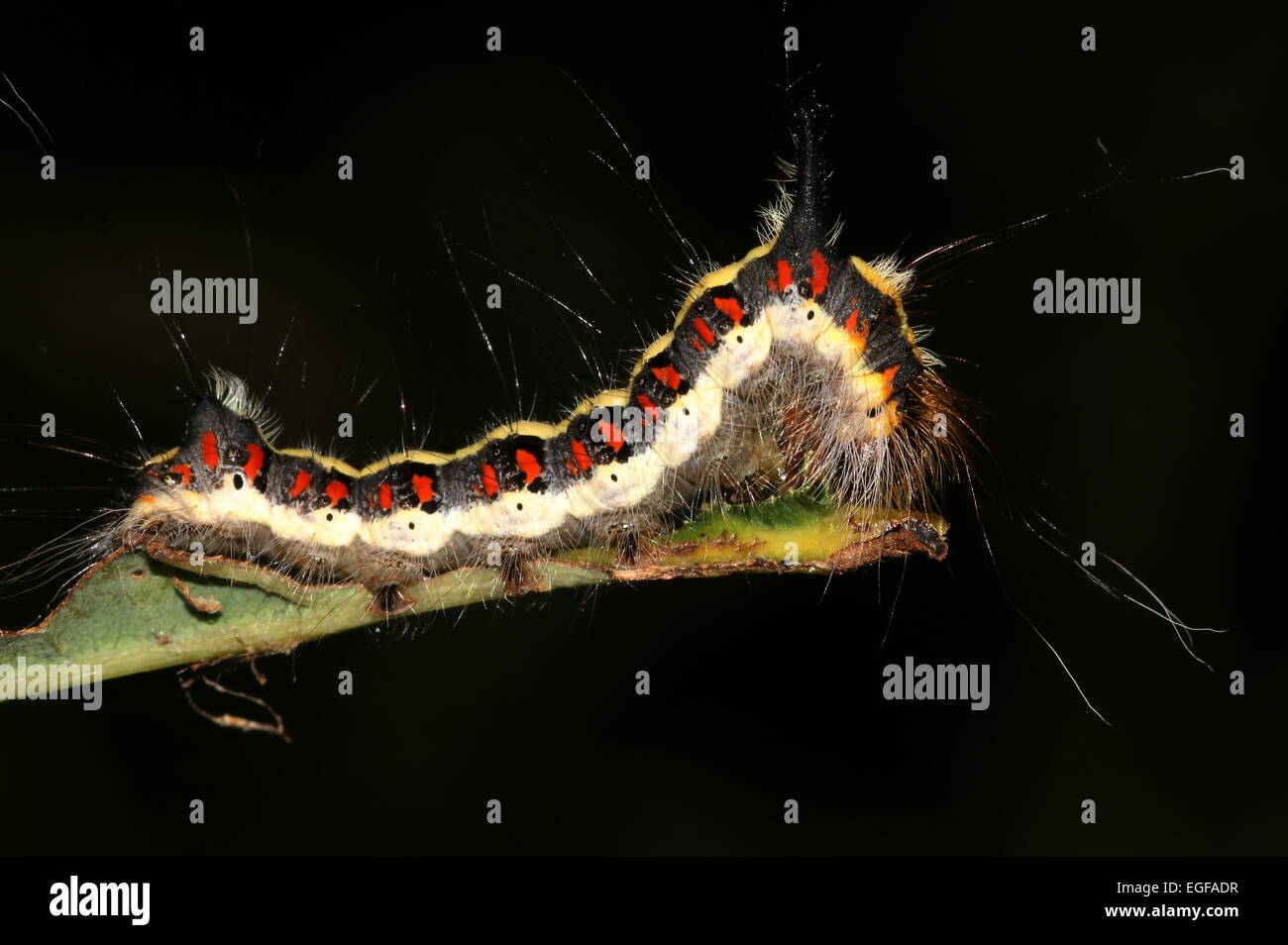 Colourful caterpillar of the European Grey Dagger moth (Acronicta psi) against a black background - Stock Image