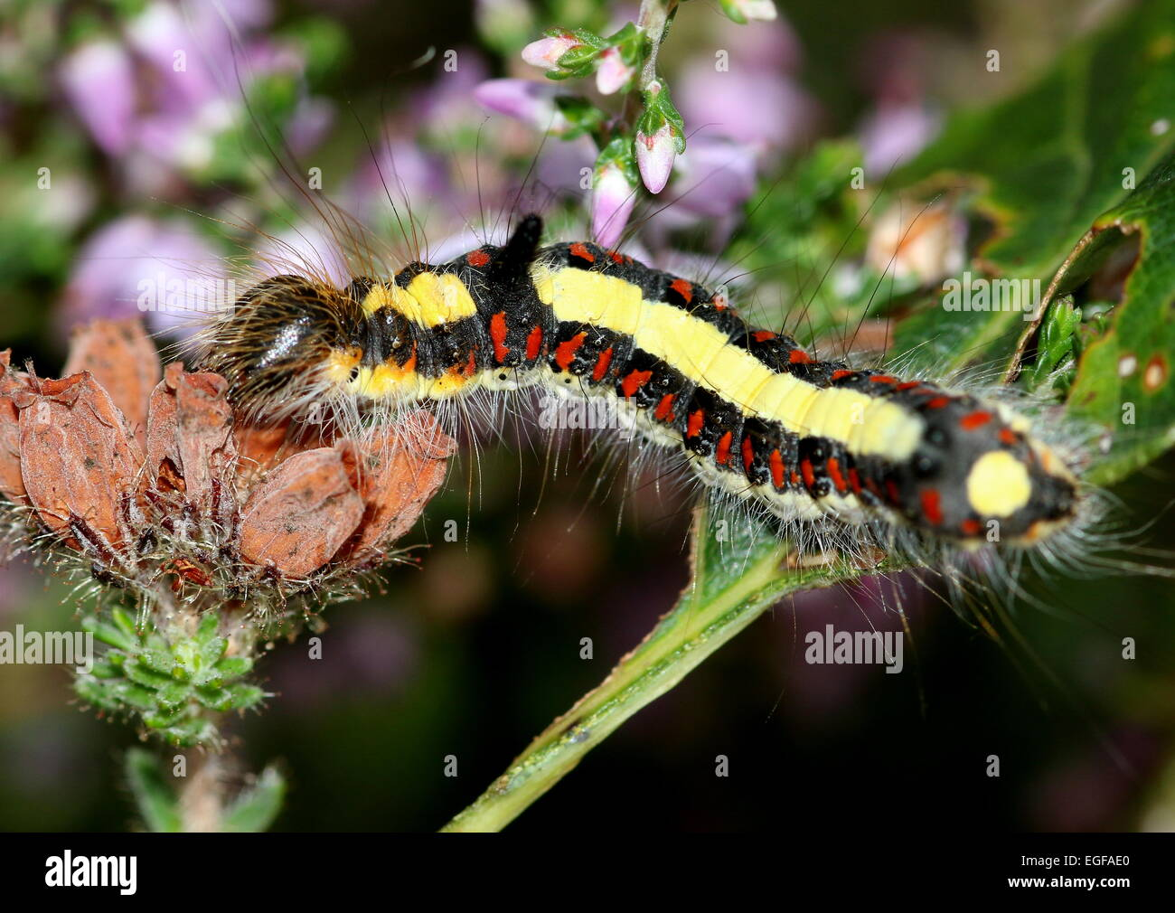 Colourful caterpillar of the European Grey Dagger moth (Acronicta psi), seen here on common heather flowers - Stock Image