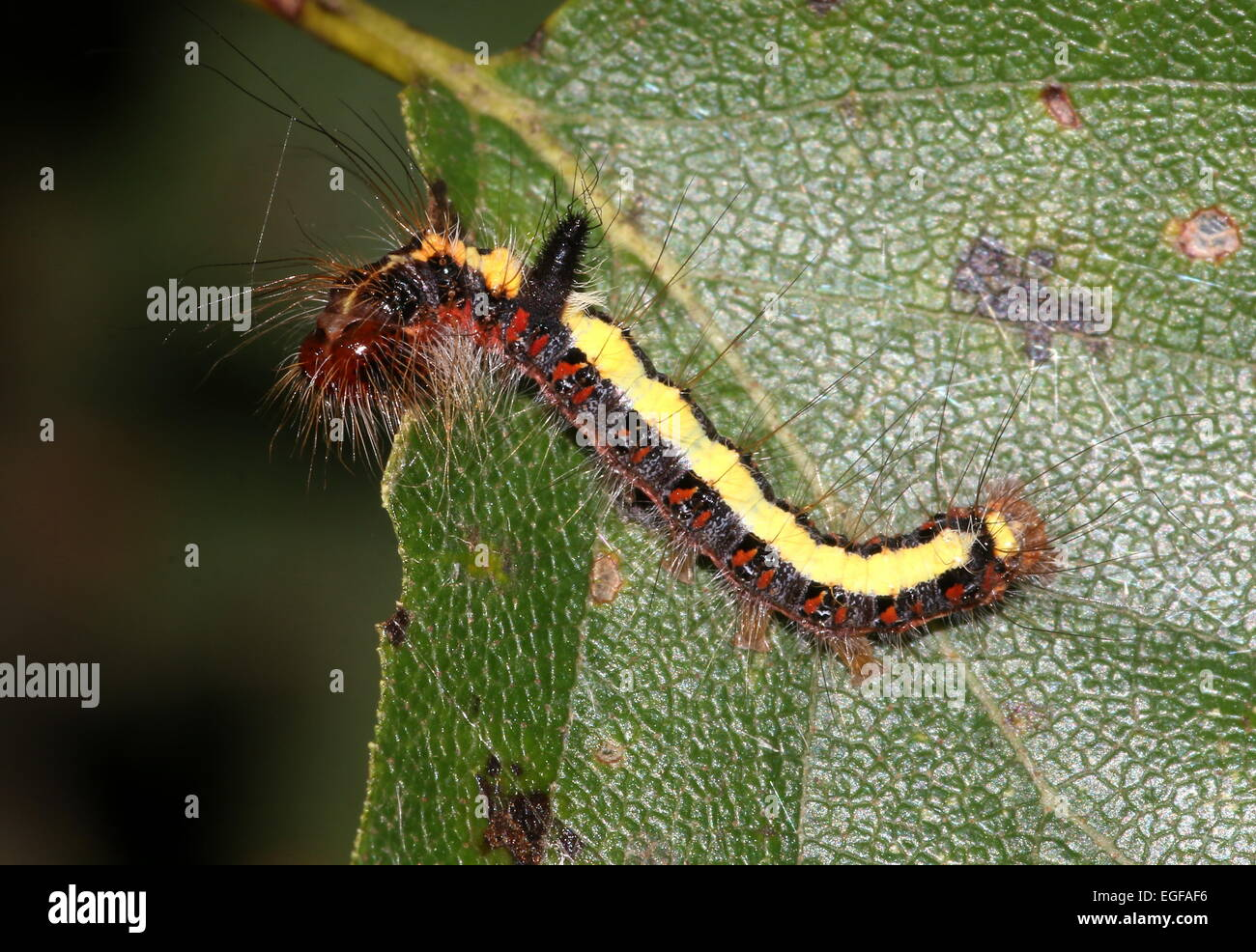 Colourful caterpillar of the European Grey Dagger moth (Acronicta psi) Stock Photo