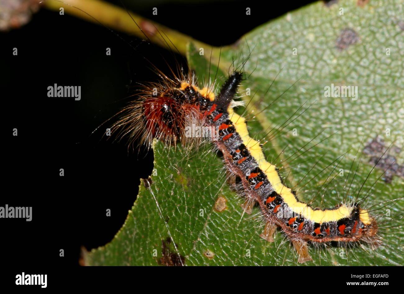 Colourful caterpillar of the European Grey Dagger moth (Acronicta psi) - Stock Image