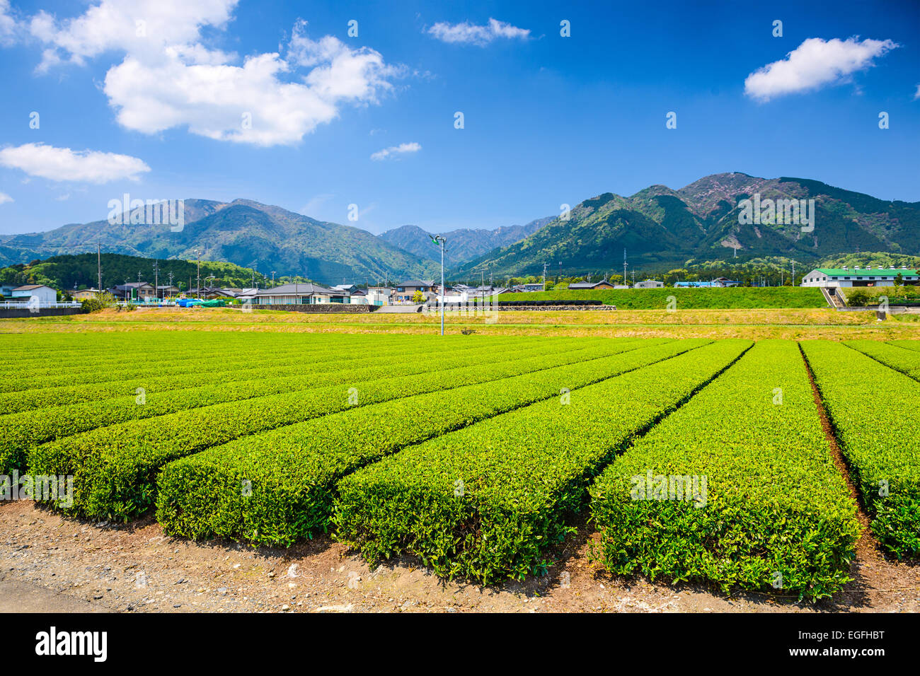 Tea plantation landscape in Yokkaichi, Japan. - Stock Image