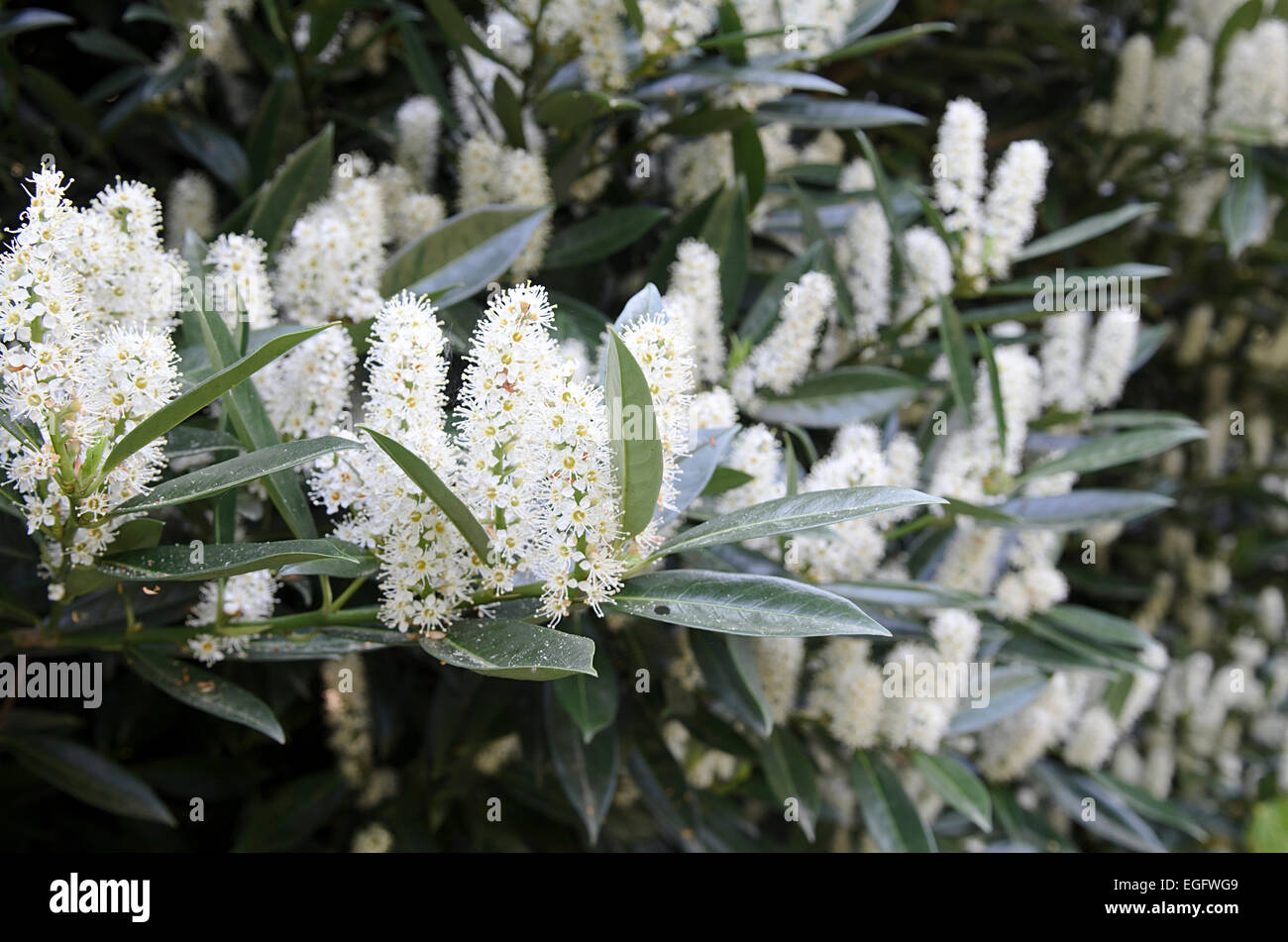 Prunus laurocerasus common laurel in flower - Stock Image