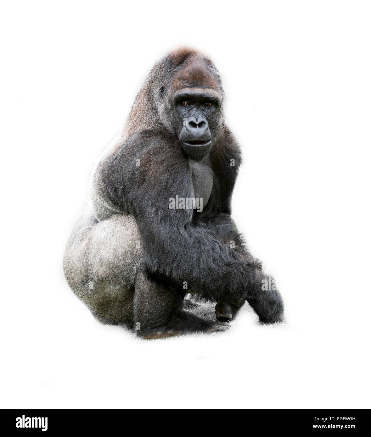 Gorilla Cut Out Stock Images & Pictures - Alamy