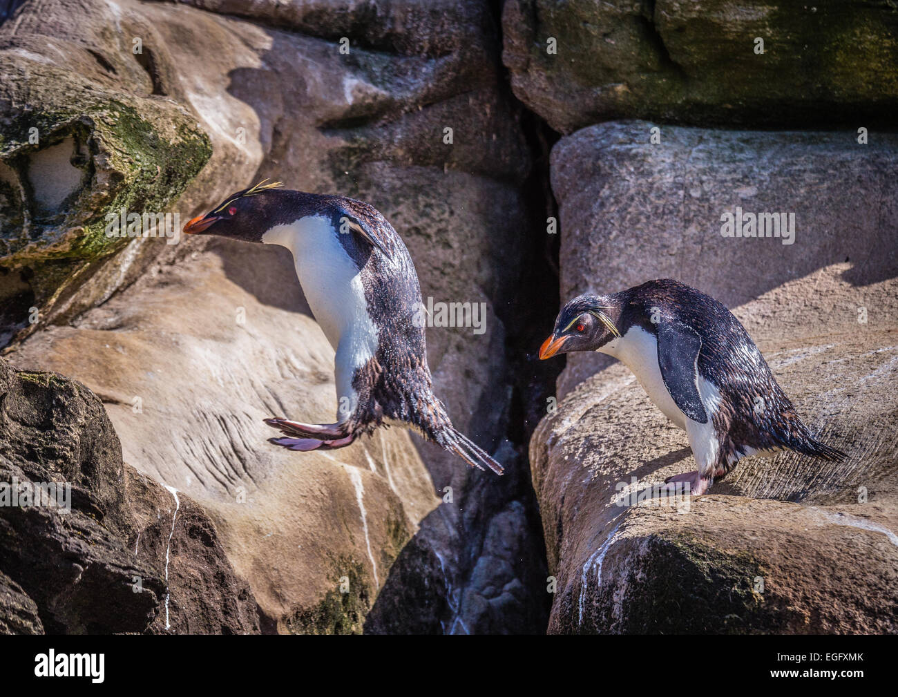 Rockhopper Penguin leaping over a gully - Stock Image