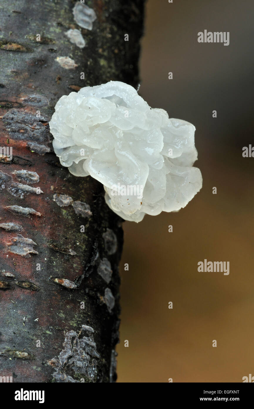Colourless unpigmented variety of yellow brain / golden jelly fungus / yellow trembler / witches' butter (Tremella - Stock Image