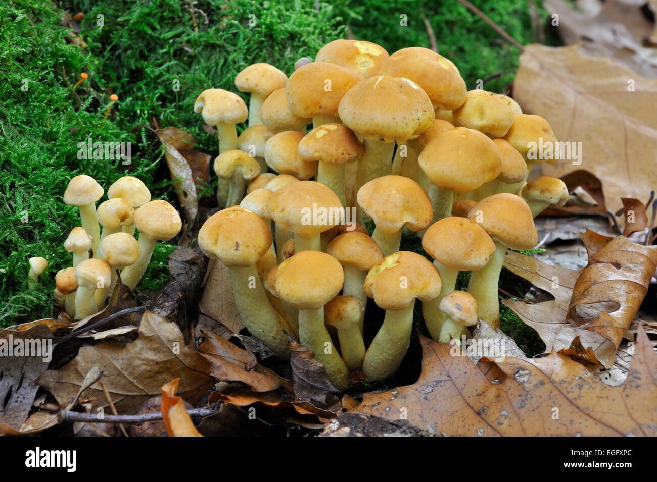 Sulphur tuft fungus / sulfur tuft / clustered woodlover (Hypholoma fasciculare) on decaying wood - Stock Image