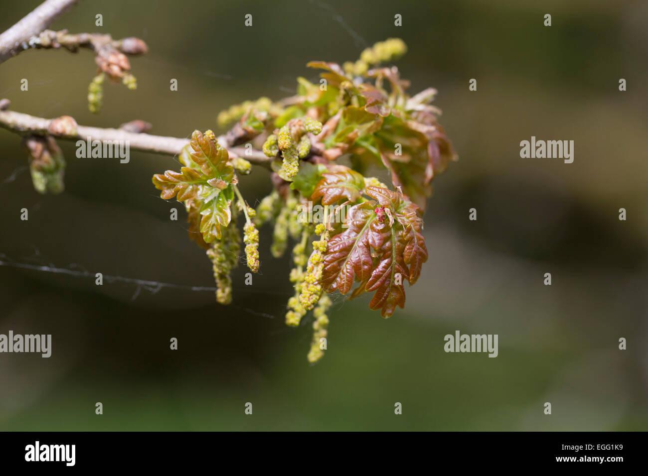 Oak Leaves Quercus robur Forest Of Dean; UK Stock Photo