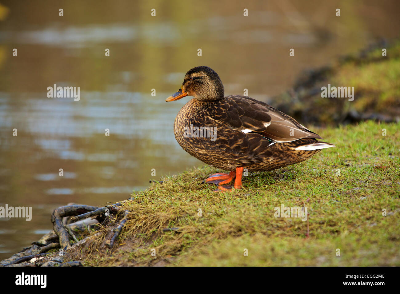 Female Mallard about to take the plunge. Waddling toward the lake to escape having her picture taken - Stock Image