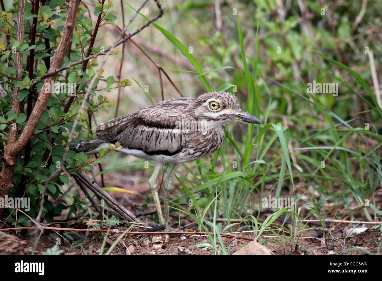 Water thick-knee amongst vegetation in South Africa - Stock Image